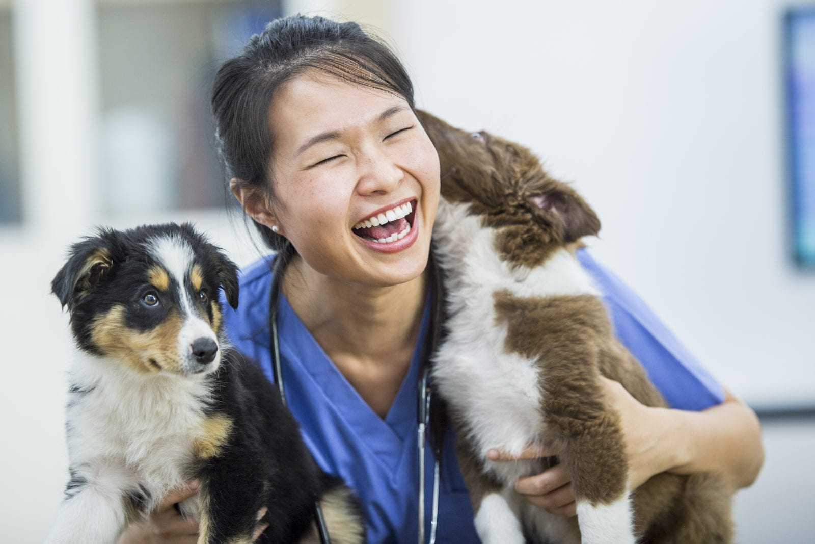 Female vet playing with puppies laughing