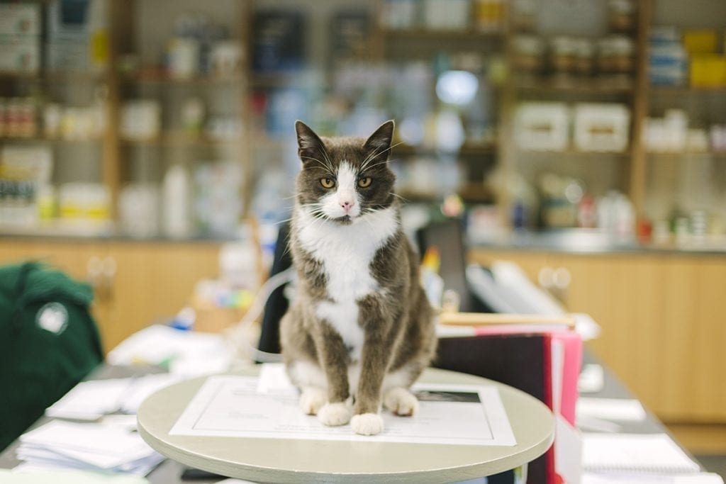 The practice cat sits on a table in the reception area in a Veterinary Hospital.