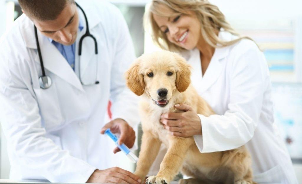 Two veterinarians vaccinating puppy