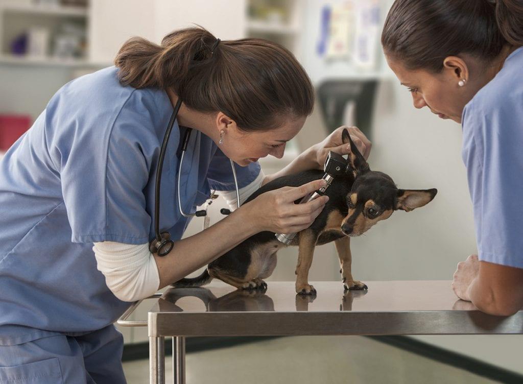 Female veterinarian examining small dog